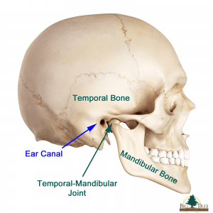 Anatomy of Skull TMJ Dentist Los Angeles TMJ Doctor Sid Solomon DDS